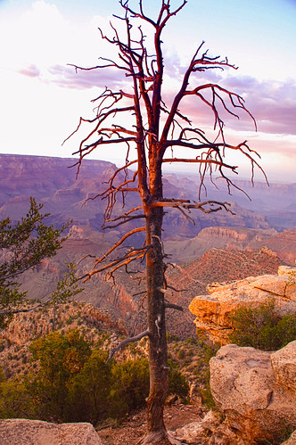 grand canyon arizona tree