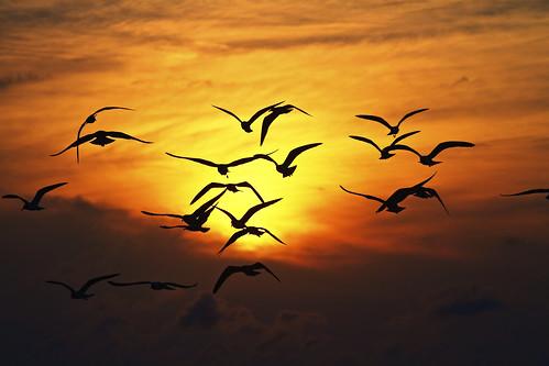 [フリー画像素材] 動物 (その他), 鳥類 (その他), 動物 - 群れ, 朝焼け・夕焼け ID:201301241600