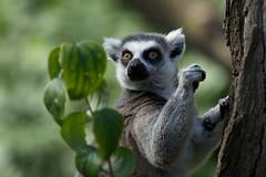 animal, nature, mammal, fauna, lemur, close-up, wildlife,