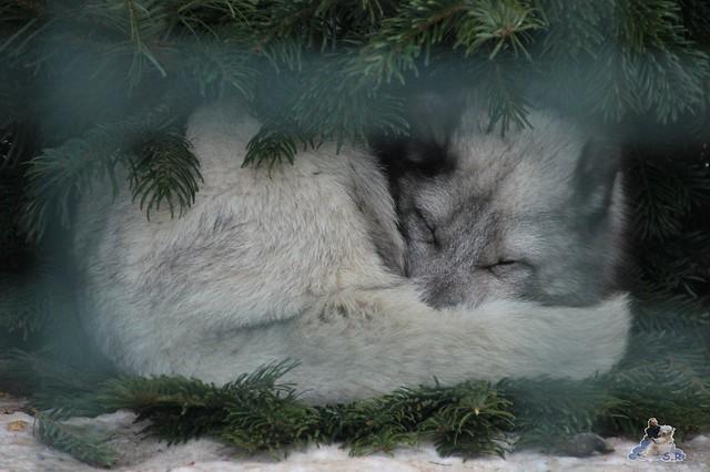 Polarfuchs auf der Erbse :-) bloss nicht im kalten Schnee liegen, auf der Tanne ist es viel wärmer :-)