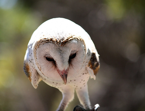 Barn Owl - Birds of prey (Kangaroo Island)