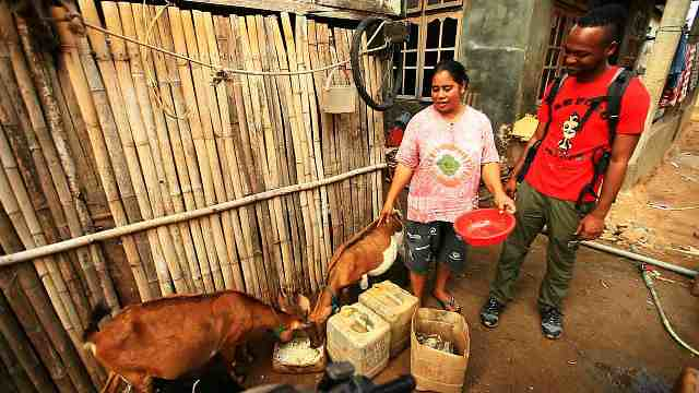 Warga membiarkan hewan ternak berkeliaran bebas meski kambing mereka sering dimangsa komodo - Dok. Kompas TV