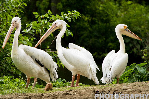 Pelicans in Threes by Ricky L. Jones Photography