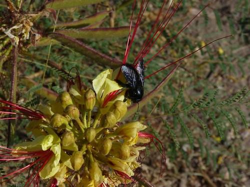Carpenter Bee on Bird of Paradise
