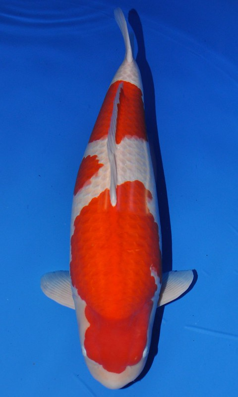 Grand champion contenders for 2014 all japan show for Champion koi ponds