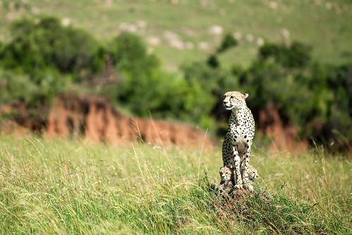 Gepard med två ungar