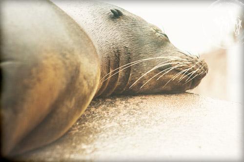 resting sea lion