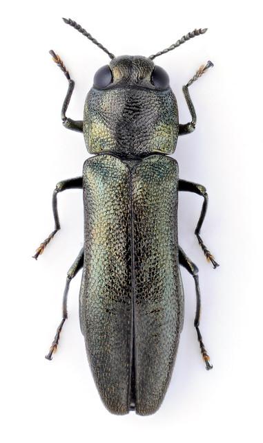 Agrilus viridiobscurus