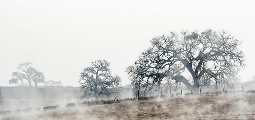 california trees mist tree fog landscape vineyard oak highway centralcoast oaks templeton 46 sanluisobispocounty olympus40150 landscapedreams lonemadrone treesdiestandingup