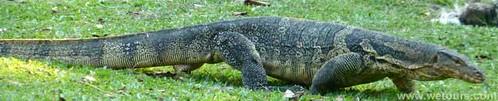 monitor lizard Lumphini Bangkok