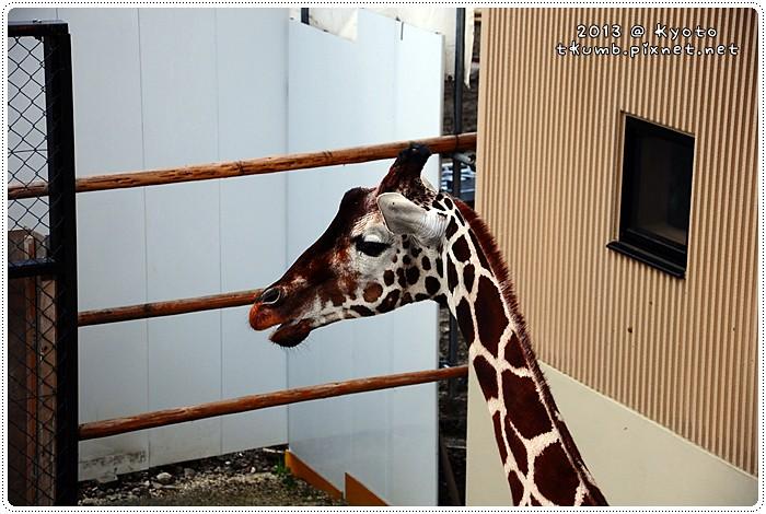 京都動物園 (13).jpg