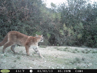 Mountain lion 3/2/2013; 17:39 taken by motion sensor camera; San Mateo County