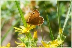 Small Wood-Nymph Grand Canyon Arizona butterfly photography by Ron Birrell; DSC_5051
