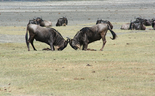 8536232217 38e2997971 When is the Best Time to See The Great Migration? Three Perspectives on One Phenomenon.
