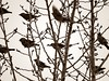 Sparrows by 5of7
