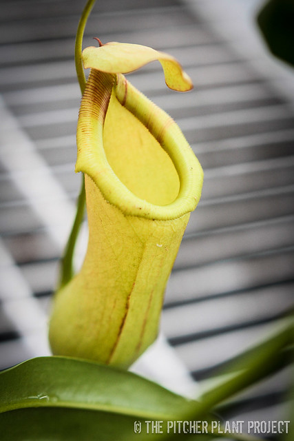 Nepenthes elgantine