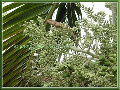 Calotes versicolor (Changeable Lizard, Garden Fence Lizard, Crested Tree Lizard) on Manila/Christmas Palm