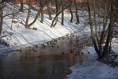 Ducks at Akerselva