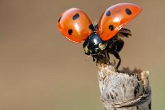 Coccinelle à sept points - Seven-spotted ladybug_-6.jpg