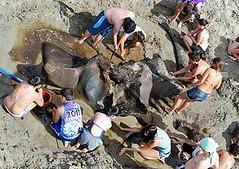 學生們檢視巴西聖保羅南方100英里外的Iguape鎮東部海灘發現的藍鯨化石(照片提供:聖保羅州立大學)