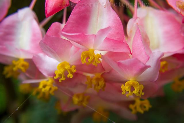 Begonia spp - HRBG