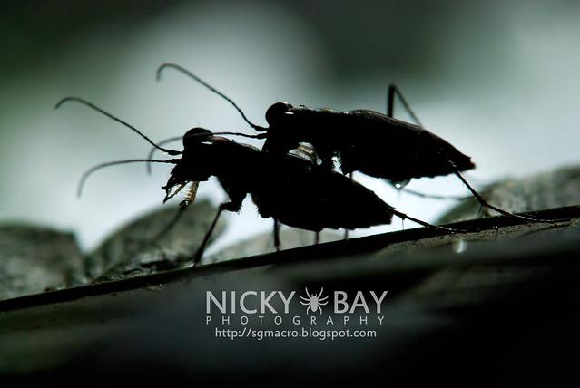 Tiger Beetles (Cicindelinae) - DSC_5162