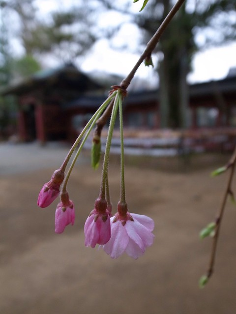 根津神社(Nedujinja Shrine)