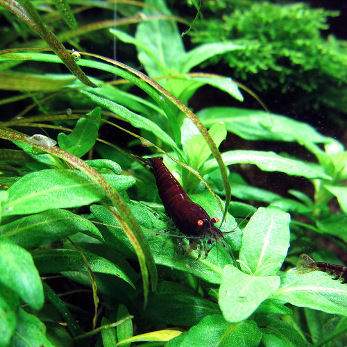 Tiger Garnele Shrimp