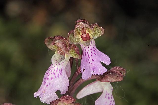 Orchis cazorlensis /Orchidaceae