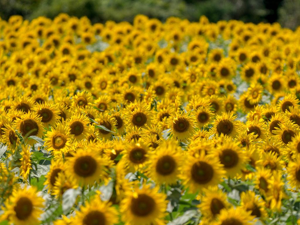 圧縮効果で撮った向日葵畑