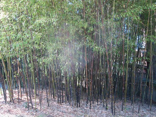 Hakone Japanese Gardens, Saratoga, CA, bamboo IMG_2270