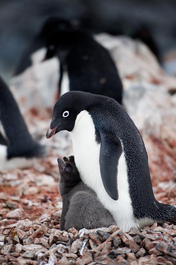 RYALE_Antarctica_Penguins-56
