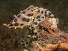Blue ringed octopus-9323