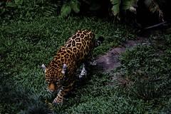 tiger(0.0), animal(1.0), big cats(1.0), leopard(1.0), mammal(1.0), jaguar(1.0), fauna(1.0), jungle(1.0), wildlife(1.0),