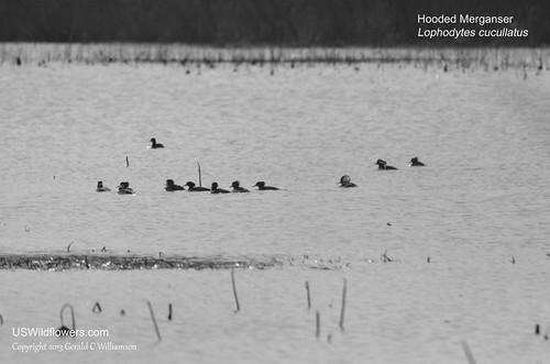 Hooded Merganser -  Lophodytes cucullatus by USWildflowers, on Flickr