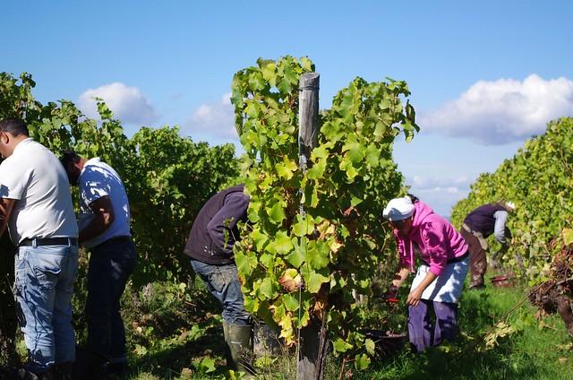 Vendanges en Pays de Bergerac