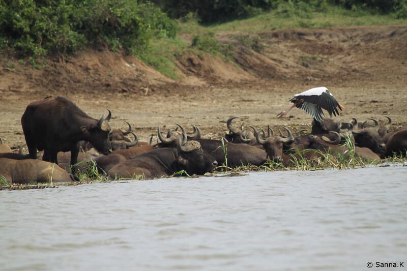 buffalot