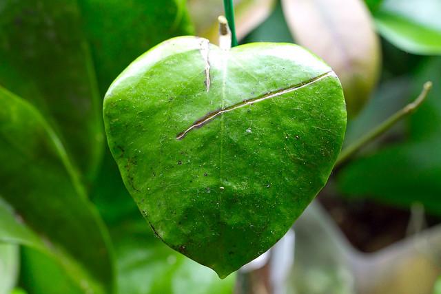 Hoya balaensis (EPC 626)