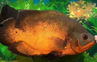 oscar cichlid breeding