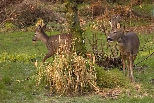 Roe Deer 2.1
