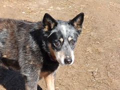 dog breed, animal, dog, pet, street dog, mammal, vulnerable native breeds, australian cattle dog,