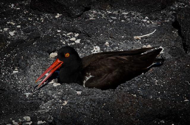 Galapagos Birds: American Oystercatcher