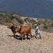 Arrando con yunta - plowing with oxen; afuera de Zoogocho, Districto Villa Alta, Región Sierra Juárez, Oaxaca, Mexico por Lon&Queta