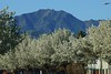 Trees in bloom on Country Hills Drive zoomed for a closer view of the blossoms with Mt. Diablo as backdrop.