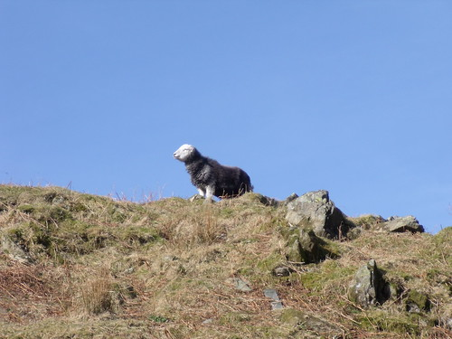 Sheep on Old Man of Coniston