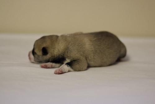 Ike-Kilbe-Pup2-Male-1