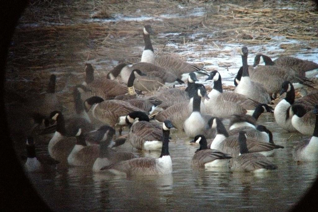 Canada Goose Greenland