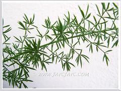 Asparagus densiflorus 'Sprengeri' (Sprengeri Asparagus Fern, Asparagus/Foxtail Fern, Plume Asparagus) with fern-like foliage