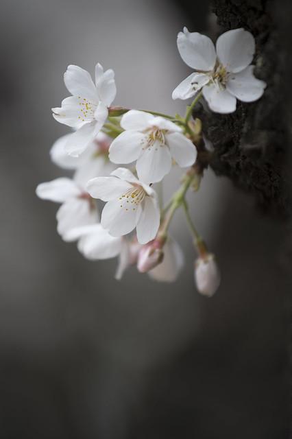 NIKON D4中野通りの桜14
