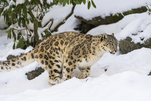 Djamila running in the snow by Tambako the Jaguar